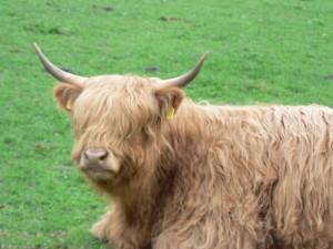 Schweizer Kühe sind heute Schotten - kulturelle Entropie muß es auch im Comic geben!